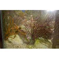 Magenta Gorgonian Frags Click to view larger image'