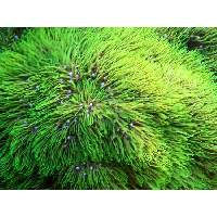 Neon Green Star Polyps Click to view larger image'